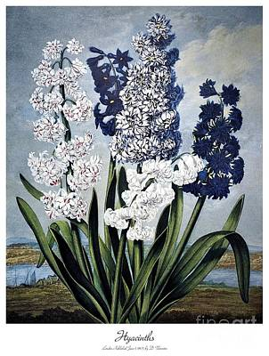 Photograph - Thornton: Hyacinths by Granger