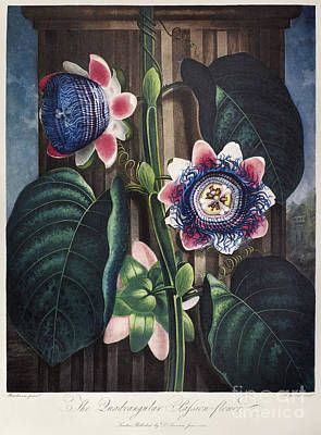 Thornton: Passion-flower Art Print by Granger