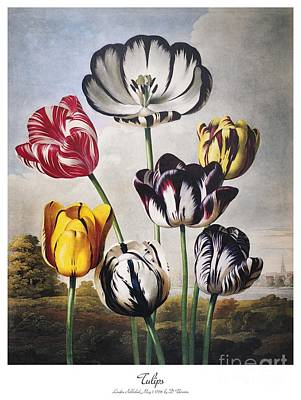 Photograph - Thornton: Tulips by Granger