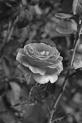 Photograph - Thorny Rose Boston Public Garden Boston Ma Black And White by Toby McGuire