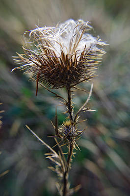Photograph - Thorny Thistle by Adria Trail