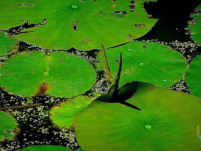 Photograph - Those Are Some Big Lilypads by Beth Akerman
