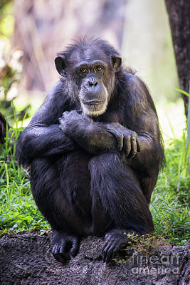 Photograph - Thoughtful Chimpanzee  by Stephanie Hayes