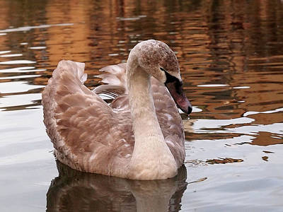 Photograph - Thoughtful - Juvenile Mute Swan by Gill Billington
