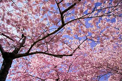 Cherry Blossoms Photograph - Thoughts by Mitch Cat