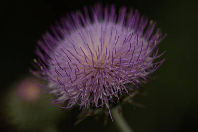 Photograph - Thoughts Of A Thistle by Ruth Jolly
