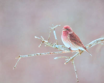 Finch Wall Art - Photograph - Thoughts Of Spring by Susan Capuano