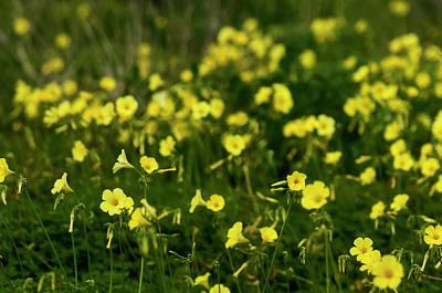 Photograph - Thousend Yellow Flowers  by Pedro Cardona