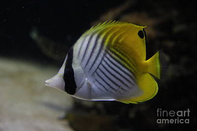 Photograph - Threadfin Butterfly Fish by Jennifer Bright