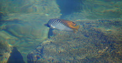 Photograph - Threadfin Butterfly Fish by Pamela Walton