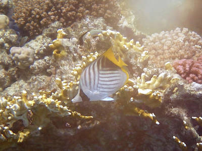 Photograph - Threadfin Butterflyfish In Glorious Light by Johanna Hurmerinta