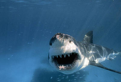 Neptune Islands Photograph - Threatened Great White Shark, Toothy by Paul Sutherland