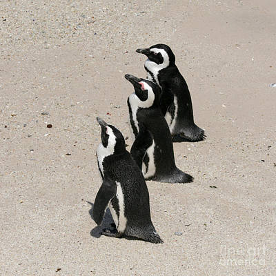 Photograph - Three African Penguins by PJ Boylan