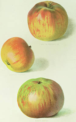 Stripe Drawing - Three Apples by English School