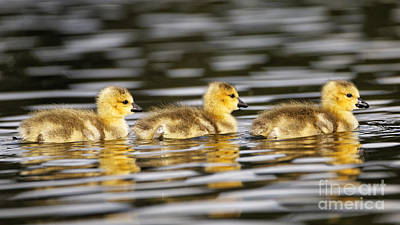 Canada Goose Photograph - Three Babies Paddling by Sue Harper