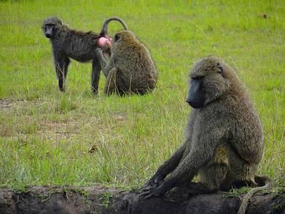 Exploramum Photograph - Three Baboons In The Grass by Exploramum Exploramum
