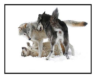 Photograph - Three Bad Wolves 2 by Steve McKinzie