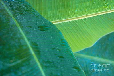 Three Banana Leaves Art Print by Dana Edmunds - Printscapes