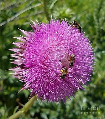 Photograph - Three Bees On Thistle by Maria Urso