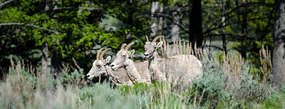 Photograph - Three Big Horn Sheep by Crystal Wightman