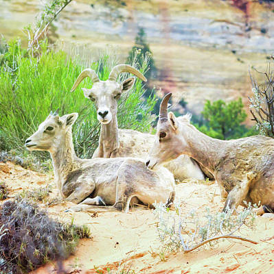 Photograph - Three Big Horn Sheep by Natalie Rotman Cote