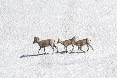 Photograph - Three Bighorn Sheep Walking Across A Snowfield by Jeff Swan