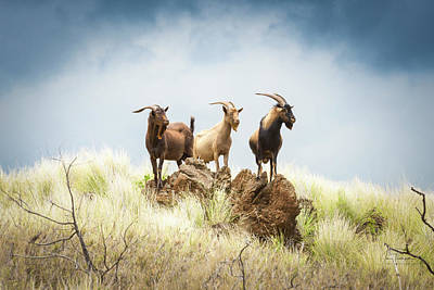 Photograph - Three Billy Goats by Jim Thompson