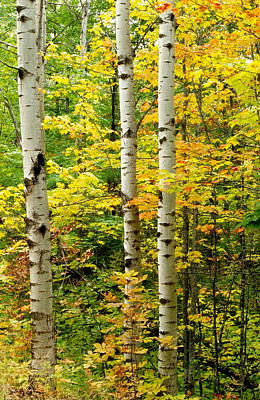 Three Birch Art Print by Michael Peychich
