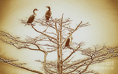 Photograph - Three Birds In A Tree On The Outer Banks Bw by Dan Carmichael