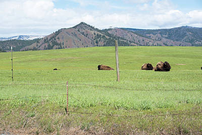 Photograph - Three Bison Resting by Tom Cochran