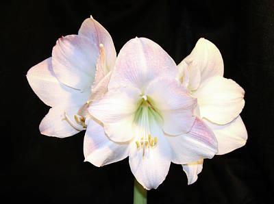 Photograph - Three Blossom Amaryllis by Amelia Painter
