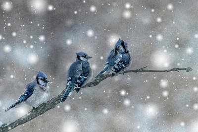 Photograph - Three Blue Jays In The Snow by Patti Deters