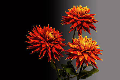 Photograph - Three Bright Dahlia Flowers by Randall Nyhof