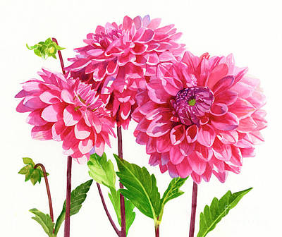 Realistic Flower Painting - Three Bright Pink Dahlias by Sharon Freeman