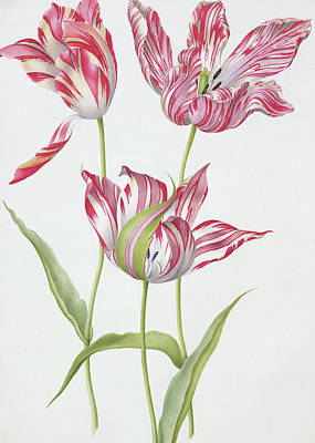 Tulip Drawing - Three Broken Tulips by Nicolas Robert