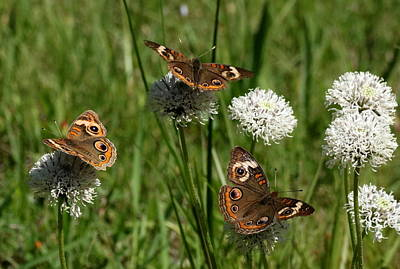 Photograph - Three Buckeye Butterflies On Wildflowers by Sheila Brown