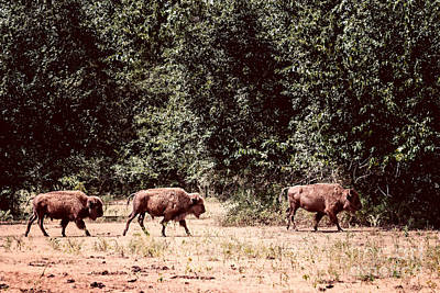 Photograph - Three Buffalo On The Reserve by Tamyra Ayles