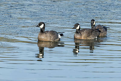 Photograph - Three Cackling Geese by Belinda Greb