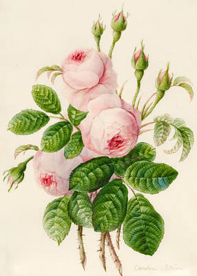 Three Centifolia Roses With Buds Art Print by Caroline Adrien