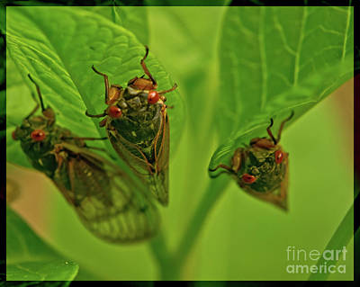 Jeffery Johnson Photograph - Three Cicadas by Photo Captures by Jeffery