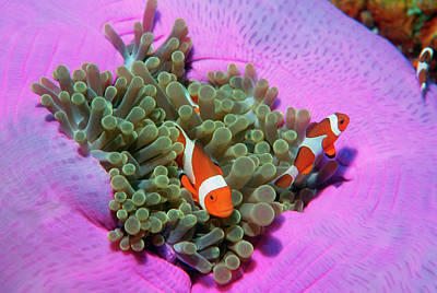 Undersea Photograph - Three Clown Fishes On Sea Anemone, Andaman Sea, Thailand by Georgette Douwma