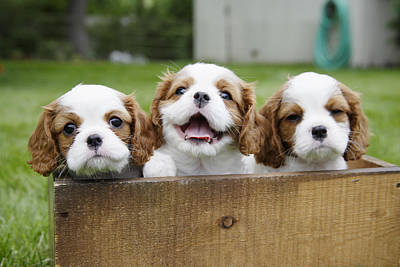 Wood Crate Photograph - Three Cocker Spaniels Peeking by Gillham Studios