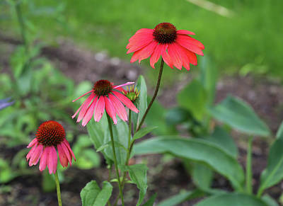 Photograph - Three Cone Flowers Dow Gardens 062618 by Mary Bedy