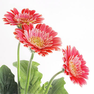 Photograph - Three Coral Gerbera Daisies  by David and Carol Kelly