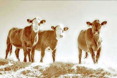 Photograph - Three Cows Bw by Dan Carmichael