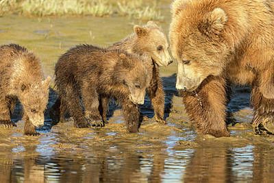 Photograph - Three Cubs And Mother Drinking At The River by Mark Harrington