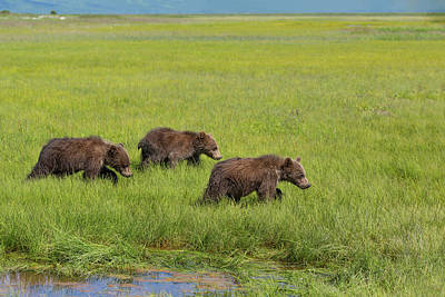 Photograph - Three Cubs Moving On by Mark Harrington