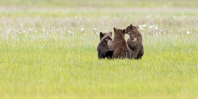 Photograph - Three Cubs Watching by Mark Harrington