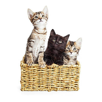 Tabby Photograph - Three Cute Kittens In Basket by Susan Schmitz