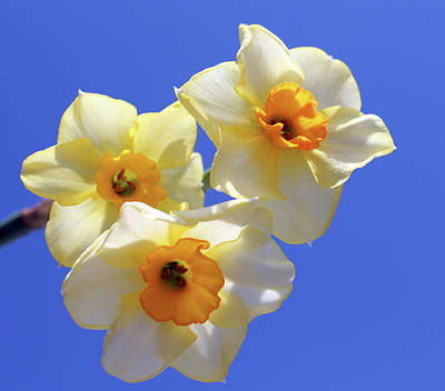 Art Print featuring the photograph Three Daffodils by Judy Vincent